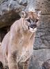 Apollo (montusurf) Tags: puma mountain lion cougar dallas zoo texas predator carnivore apollo cat feline