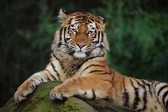 see You (Hugo von Schreck) Tags: hugovonschreck tiger cat katze canoneos5dsr tamronsp150600mmf563divcusda011 greatphotographers onlythebestofnature fantasticnature