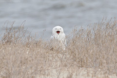 Yaaaawn (Cameron Darnell) Tags: snowyowl owl buboscandiacus bird nature animal 2017 cameron birding birds bubo tamron canon ocean mouth beak yawn dune grass
