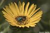 Grindelia - Botón de Oro (Florián Paucke) Tags: grindelia botóndeoro asteraceas botánica pastizal ecología ecosistema espinal amarillo biotopo biodiversidad biología medioambiente macrofotografía canon campo flores naturaleza naturalista néctar insecto cienciasnaturales ciencia