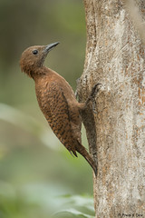 # Rufous Woodpecker.......... (Prem K Dev) Tags: rare rufous wildlife wonderful woodpecker nature avian perched pose tree thattekad kerala subcontinent indian chestnut colourful bird beautiful brown