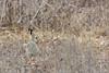 DSC_0428a (Viktor Honti) Tags: mimicry hare wildlife nature hungary
