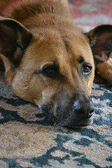 Honey is waiting and watching (jungle mama) Tags: dog tan orientalrug head belgianmalinois livingroom honey