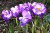 (Cajaflez) Tags: bloembol paars purple fleur bloem flower crocussen