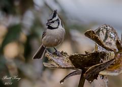 Bridled Titmouse (dbking2162) Tags: birds bird tit titmouse bridled nature nationalgeographic wildlife water animal arizona maderacanyon beautiful beauty