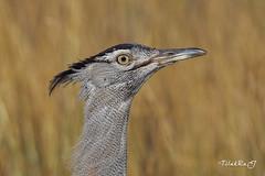 koribustard (TRJphotography) Tags: canon bird nairobinationalpark nature beautyinnature beauty colors closeup eyes kenya nairobi