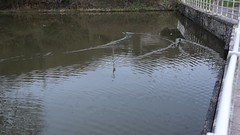 DSC_0046 (richardclarkephotos) Tags: cross guns pub avoncliff wiltshire uk © richard clarke photos kennet avon canal railway river sunset dusk otter bridges pill box ducks trees parapet
