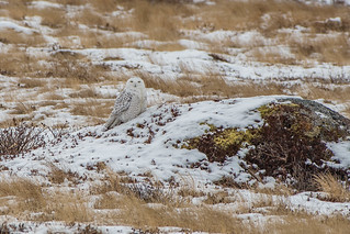 #3, Snowy Owl , Cape Spear