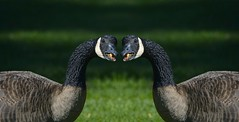 Mirror Image (Scott 97006) Tags: geese twins grass mirror goose lawn