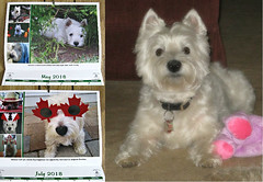 1/12A ~ Riley's pictures in the Westie In Need Calendar (ellenc995) Tags: riley westie westhighlandwhiteterrier westieinneed 12monthsfordogs18 calendar alittlebeauty fantasticnature thesunshinegroup coth5 thegalaxy 100commentgroup abigfave