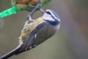 Blaumeise im Regen - Blue tit in the rain (riesebusch) Tags: berlin garten marzahn vögel