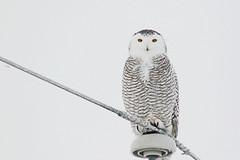 Harfang des neiges / Snowy Owl (alainmaire71) Tags: bird strigidae buboscandiacus harfangdesneiges harfang snowyowl owl nature quebec canada