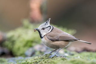 Crested Tit with Prey