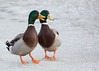 That duck over there is quackers! (Shedugengan) Tags: duck mallard male joke jokes humor