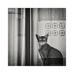 ... (ángel mateo) Tags: ángelmartínmateo ángelmateo gato felino ventana cortina reflejo mirada reflection window curtain cat feline look