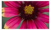 Smiling (pratyush-pandya.com) Tags: voigtlander voigtländer nature naturephotography macro macrophotography mirrorless sony ilce7rm2 a7r2 arizona phoenix southwest flower red beauty