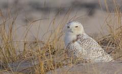 Snowy Owl (JDA-Wildlife) Tags: gorgeous wow birds birdsofprey raptors nikon tamronsp150600mmf563divc jdawildlife johnny jonesbeachliny portrait closeup eyecontact owls owlsnowyowl snowyowl nikond7100 whatbirdbestofday