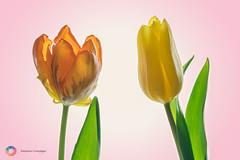 .... Ein hauch von Frühling (stephancronjäger) Tags: blumen blume flowers fleurs macrophotografy makrofotografie tulpen makro macro nature natur farben colors