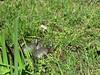 IMG_37241 (RythiéInBlack) Tags: reptile cistude terrapin turtle tortue faune marre pond cistudedeurope maures var marais turtlepond