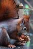 uuuuund KNACK! (bauingenieuse) Tags: knacker nussknacker walnuss lovely cute tannenäffchen squirrel eichhörnchen garten garden besuch visit red rot süs 2018 bauingenieuse bunt futterhaus feeder nut boy junge eichkater canon 80d ngc 200mm