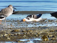An Exhausted Black Skimmer at the Foster City Shell Bar (Nicolas Forestell) Tags: birds bird skimmer blackskimmer sanmateocounty southbay tidalmudflat shellbar fostercity fostercityshellbar