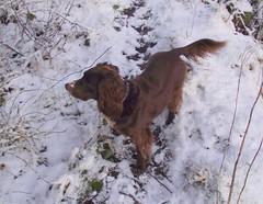 Cocoa our Cocker Spaniel (mrrobertwade (wadey)) Tags: haslingden rossendale lancashire snow wadeyphotos mrrobertwade robertwade 4000 tramway