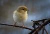 320.jpg (Kico Lopez) Tags: phylloscopuscollybita miño lugo spain rio birds mosquiterocomún galicia aves