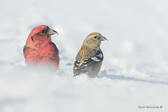 White-winged Crossbill (Earl Reinink) Tags: bird wildlife nature animal photography earlreinink earl reinink finch crossbill whitewingedcrossbill winter snow blowing cold outdoors ddzduaudza