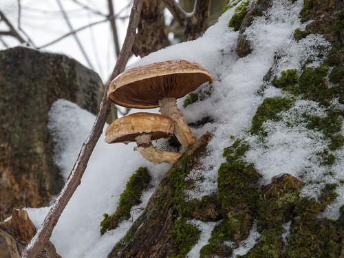 Mushroom ©  Andrey