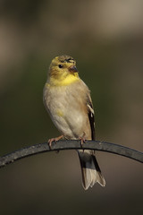 American goldfinch (Spinus tristis) (famasonjr) Tags: nature wild wildlife perch bokeh american goldfinch usa ngc canon eos 7d canonef70300mmf456isiiusm backyard tennessee molting yellow
