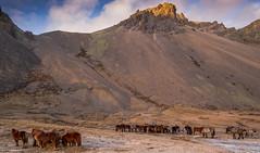 Icelandic Horses (John Behrends) Tags: