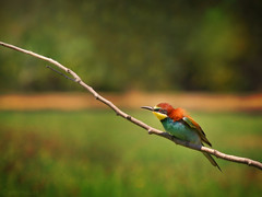 European Bee Eater (Kike K.) Tags: bird animal beak feathers dragonfly insect color canon amateur 80d canon70200f4l nature natural walk hiking isonzo soča river water odonata sun light sunlight daylight tail may 2017 heat humidity pond branch fly flight flying meal telephoto crop gimp gmic artistic experimental italy italia