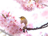 Happy bird (Tomo M) Tags: flower cherryblossoms bird japanesewhiteeye bokeh spring fauna flora petal 河津桜 smileonsaturday beautyofthebeast