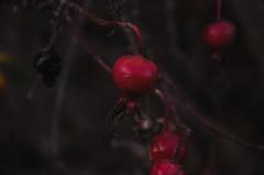 Rosehip-9 (olykaynen) Tags: plant rosehip berry dark autumn botanical