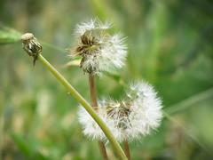 Going, going, gone (maytag97) Tags: dandelion seeds seed seeded white nature flower beauty color summer bright plant season life environment head tranquil fragility closeup natural