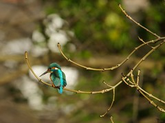 endcliffe park kingfisher sheffield 2018 (24) (Simon Dell Photography) Tags: endcliffe park bingham whitley woods forge dam kingfisher bird rare blue orange winter spring grey animal nature together wildlife sheffield botanical gardens simon dell photography 2018 feb 24 sunny detail high res perched sitting fishing