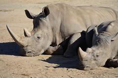 DSC_4330 (Andrew Nakamura) Tags: animal mammal rhino rhinoceros whiterhinoceros southernwhiterhinoceros southernwhiterhino lyingdown sleeping naptime sandiegozoosafaripark safaripark escondido