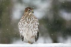 "Hawk ""in-waiting"" (dshoning) Tags: 52weeksof2018 animal bird hawk snow winter iowa january"