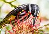 White Cheeked Honeyeater2 (dakinane) Tags: perth westernaustralia australia wa kingspark native