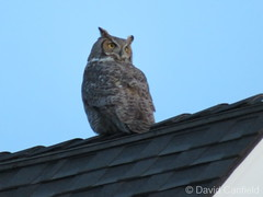 January 5, 2018 - A Great Horned Owl visits a Broomfield neighborhood. (David Canfield)