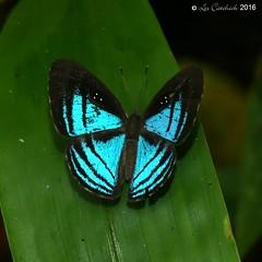 Mesosemia eumene - male (LPJC) Tags: villacarmen manu peru 2016 lpjc butterfly mesosemiaeumene metalmark