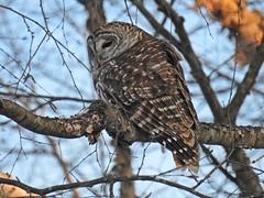 Barred Owl 1-19-2018 (Tom & Colleen Becker) Tags: tombecker barredowl baow muscatatucknwr jacksoncounty indiana