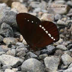 Lymanapoda apulia (LPJC) Tags: sapansachayoc manuroad manu peru 2016 lpjc butterfly lymanapodaapulia