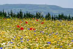 Countryside Wildflower Meadow (SLHPhotography1990) Tags: spring wild flower meadow isle wight british english nature natural colour burst vivid season country countryside rural landscape beauty scene scenic walk many lots native flowers