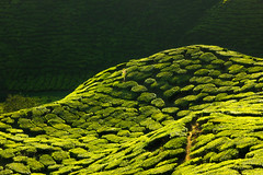 Texture of green tea farm (anekphoto) Tags: tea cameron malaysia plantation highlands field green landscape nature fresh highland background farm plant agriculture asia rural mountain hill texture scene countryside valley beautiful leaf sky tree organic tropical scenery idyllic slope cultivation rows view beauty healthy travel trees estate landmark freshness flora scenic foliage meadow land grow climate farming