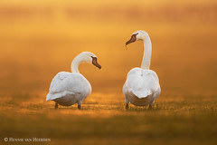 Webs of love (hvhe1) Tags: wild wildlife nature animal bird sunset yellow orange web spiderweb swan knobbelzwaan voorsterklei holland thenetherlands cygnusolor cygnetuberculé höckerschwan muteswan hvhe1 hennievanheerden gold couple pair