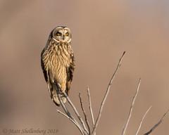 Short-eared Owl (Matt Shellenberg) Tags: shorteared owl shortearedowl missouri