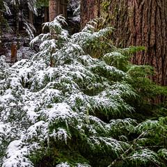 Winter Forest Detail (rich trinter photos) Tags: mountrainier winter ashford washington unitedstates us landscape naturalpattern trinterphotos forest oldgrowth fir