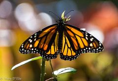 TG Feb2018 1_0103 (Mary D'Elia) Tags: florida ftlauderdale monarch butterfly garden insect monarchbutterfly nature wildlife