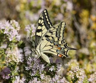 El macaón o mariposa rey ... Papilio machaon .... es una de las mariposas más espectaculares que tenemos por Andalucía. Existen multitud de especies muy bonitas, pero por su tamaño, colorido y formas ésta es quizás una de las más vistosas.  Reino:  Animal